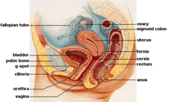 Female reproductive system lateral.png