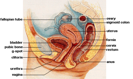 The female reproductive system.[47]