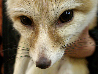 Fennec fox - Close up of the head of a fennec fox