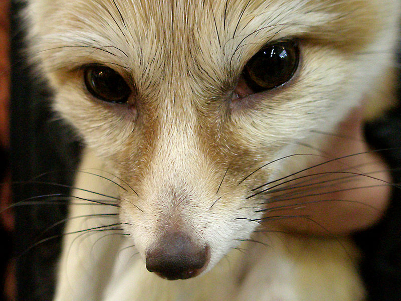 Fitxer:Fennec close up.jpg