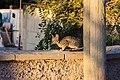 Feral cat - Sicily, 2017-09-03.jpg