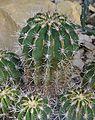 Ferocactus flavovirens in Tropengewächshäuser des Botanischen Gartens.jpg