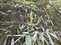 Feuillage de bambou bamboo leaf VAN DEN HENDE ALAIN CC BY SA 40 07 BG PDP -1445103650F6x.jpg