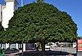 Ficus al carrer de sant Rafael, Xàbia.jpg