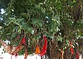 Ficus benghalensis à Pushkar (Rajasthan) (2).jpg