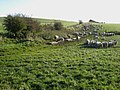 Field of sheep near Ryal - geograph.org.uk - 271457.jpg