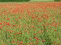 Field poppy - Papaver rhoeas - panoramio (5).jpg