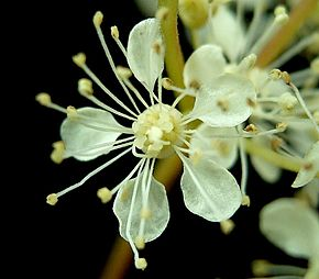 Description de l'image  Image:Filipendula ulmaria3 ies.jpg.