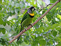 Fire-tufted Barbet RWD4.jpg
