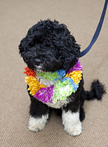 """A black dog with curly hair and white feet wears a multi-colored lei around his neck"""