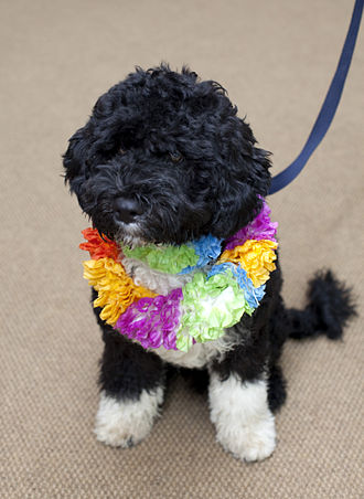 Bo (dog) - Bo wearing a lei upon his White House arrival