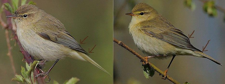 Flickr - Rainbirder - Willow Warbler-Chiffchaff comparison