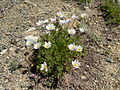 Flickr - brewbooks - Anemone - above Navaho Pass.jpg