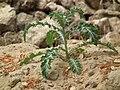 Flora of Tanzania 0332 Nevit.jpg
