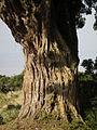 Flora of Tanzania 3919 Nevit.jpg