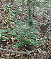 Florida Yew crop.jpg