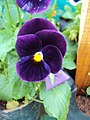 Flowers - Uncategorised Garden plants 10.JPG