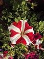 Flowers - Uncategorised Garden plants 31.JPG