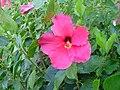 Flowers of Cuba 08.JPG