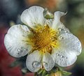 Flowers of Ireland (8183908072).jpg