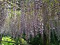 Flowers of wisteria in Kawachi Wisteria Garden 20150509-4.JPG