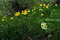 Flowers on mount Zuruldi, Svaneti, June, 2018-1.jpg