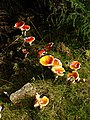 Fly Agaric, Cardrona Forest - geograph.org.uk - 243009.jpg