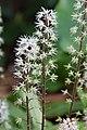 Foam Flower Tiarella cordifolia 'Oak Leaf' Flowers 2000px.jpg