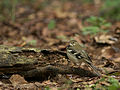 Forest Wagtail 3976.jpg