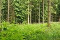 Forest of Dean near Symonds Yat (9788).jpg