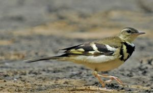 Motacillidae - Forest wagtail, Dendronanthus indicus