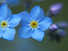 Alaska's state flower is the Forget-Me-Not.