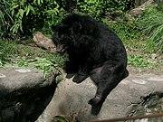 Asian black bear - Wikipedia