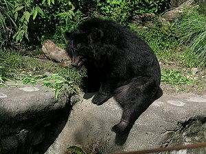 Asian black bear - 180 px