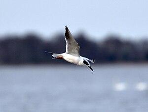 Lake Mattamuskeet - Image: Forsters Tern Fishing
