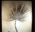Fossil Sabalites sp palm.jpg