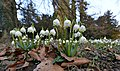 Frühlings-Knotenblume, Leucojum vernum Böhringer 1.JPG