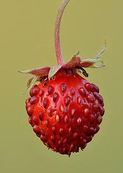 Fragaria vesca fruit - Keila.jpg