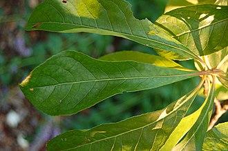 Franklinia - Image: Franklin Tree Franklinia alatamaha Leaf Closeup 3008px