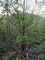 Fraxinus ornus (Oleaceae).jpg