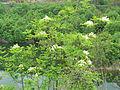 Fraxinus ornus Bulgaria 4.jpg