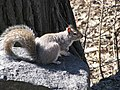 Free ranging Grey Squirrel (8392193678).jpg