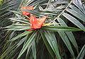 Freycinetia luzonensis 01.jpg