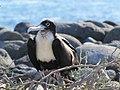Frigatebirds - North Seymour Island - Galapagos Islands - Ecuador (4871089232).jpg