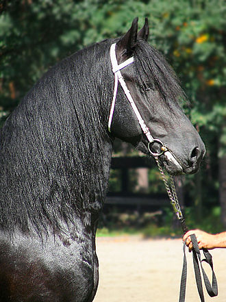 Friesian horse - Closeup of the head