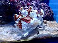 Frogfish in aquarium.jpg