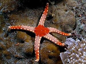 Fromia monilis - Image: Fromia monilis (Sea star)