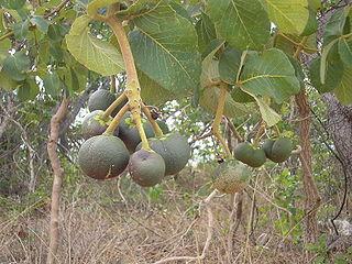 fruto pequi