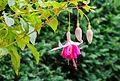 Fuchsia 'Jessie Pearson' 02.jpg