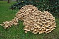 Fungi in Earl's Croome churchyard - geograph.org.uk - 598421.jpg